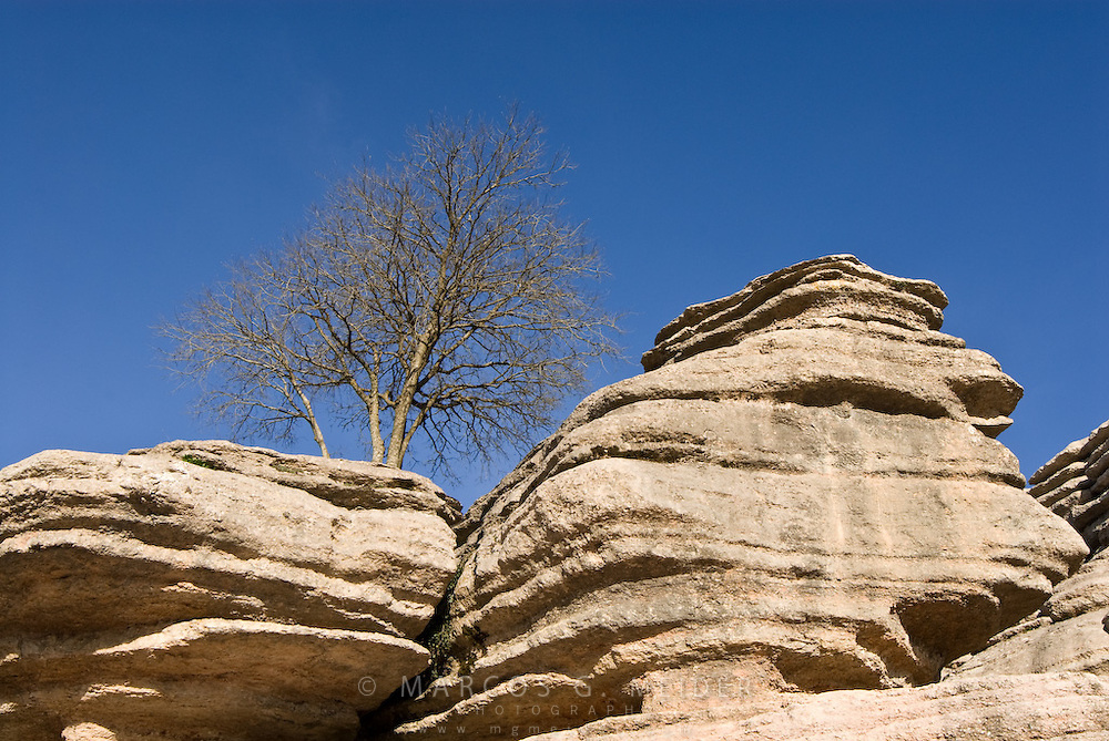 Tree growing on Jurassic limestone.  Torcal de Antequera Natural Park, Malaga province, Andalucia, Spain.