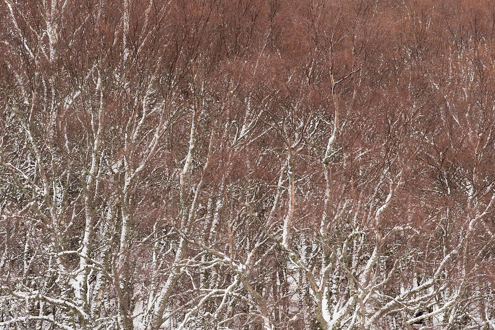 Silver Birch (Betula pendula) trees in late winter after light snow, Scotland
