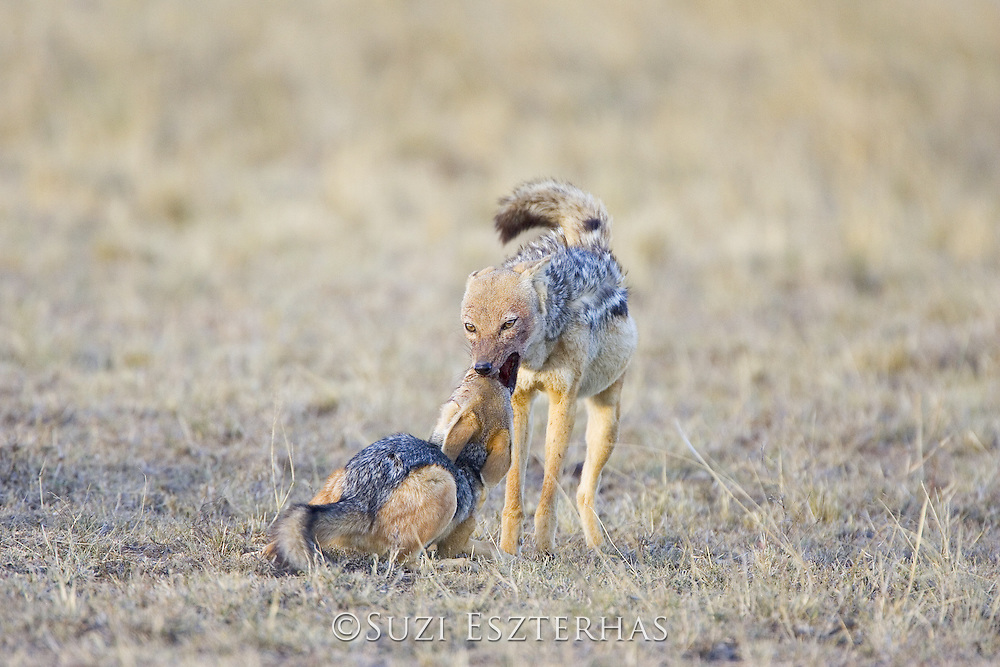 Black-backed Jackal<br /> Canis mesomelas<br /> 16 week old pup begging for food<br /> Masai Mara Triangle, Kenya