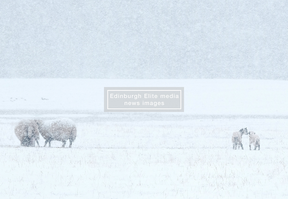 Heavy Snowfall in West Lothian, Wednesday, 4th April 2018<br /> <br /> More heavy snow fell in West Lothian this afternoon causing traffic problems for drivers on the M8 Edinburgh to Glasgow motorway.<br /> <br /> Some sheep with their lambs in the snow<br /> <br /> Alex Todd | EEm