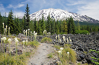 Beargrass (Xerophyllum tenax) growing on a lava flow at Mt St Helens, National Monument, WA, USA