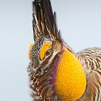 "Attwater's prairie-chickens are one of the rarest and most endangered birds in North America. This male Attwater's performs a spring ritual dance while vocalizing his characteristic ""boom."" The physical differences between Attwater's and the greater prairie-chicken—such as a slightly smaller body and darker coloration—are so minor the two are considered almost identical."