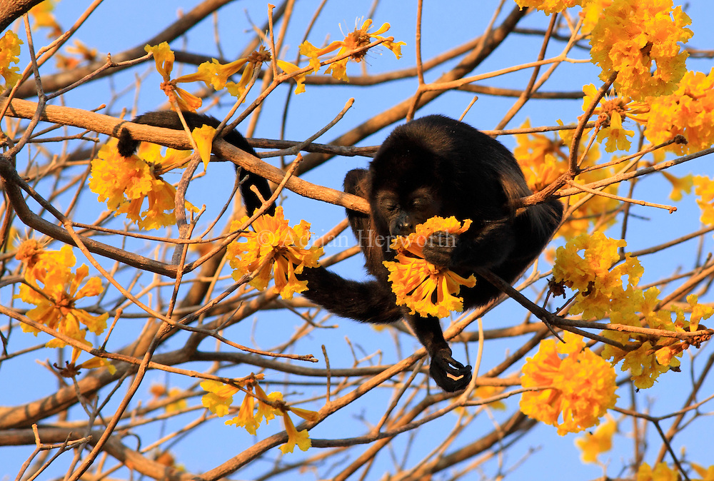 Mantled Howler Monkey (Alouatta palliata) feeding on Yellow Cortez (Tabebuia ochracea) flowers in tropical dry forest near Conchal Beach, Guanacaste, Costa Rica. <br />