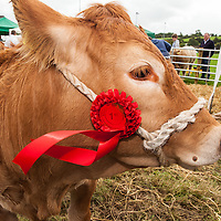 John McInerney from Newmarket-on-Fergus's 1st prize winning limousin heifer at the Scarriff Agricultural Show 2014
