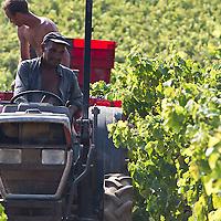 Un an dans la vigne : les vendanges