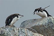 Two chinstrap penguin chicks give out load brays, calls back and fourth to each other like they were having a yelling match.
