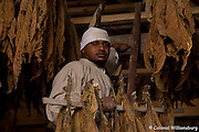 Ayinde Martin hanging tobacco to dry in the Great Hopes barn.