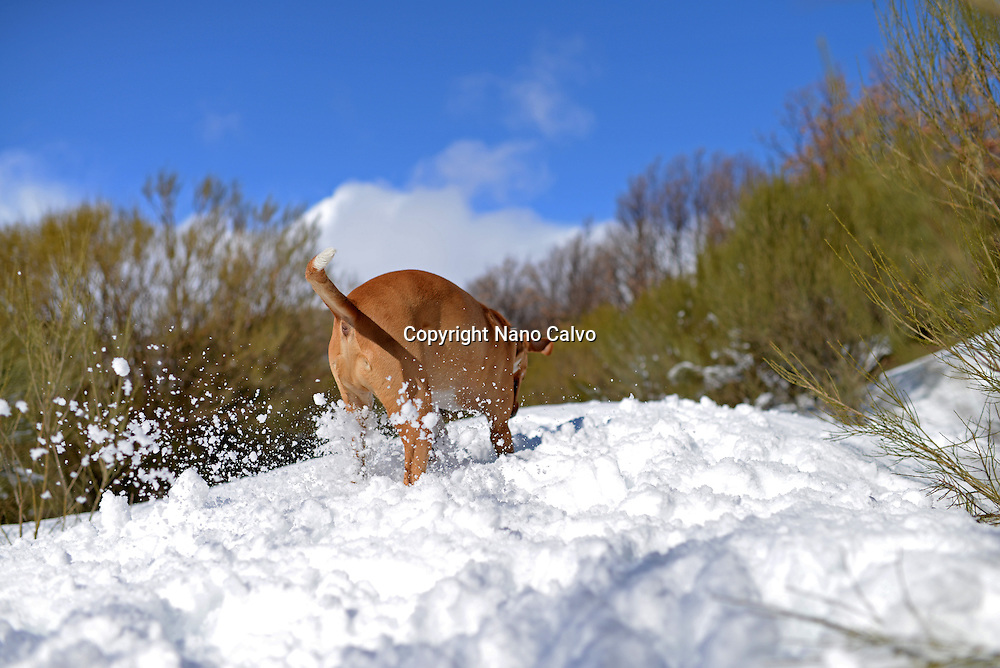 Mixed breed brown dog enjoying snowy day in mountain