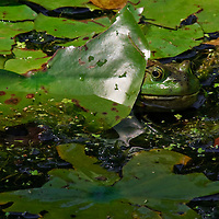 Wild bullfrog hiding among the lily pads at the frog pond in the National Zoo.