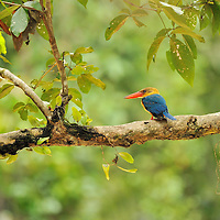 Stork-billed Kingfisher (Pelargopsis capensis) on a tree branch, Borneo, Sabah, Malaysia