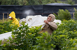January 3, 2018 - West Palm Beach, Florida, U.S. - MERCEDES PEDRO pulls coverings over arboricola plants at Quinntessence Nursery in Loxahatchee. The workers are covering many of the sensitive plants on their 15 acres to protect them from cold and wind. (Credit Image: © Allen Eyestone/The Palm Beach Post via ZUMA Wire)