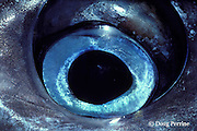 eye of freshly caught blue marlin, Makaira nigricans