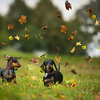Wispa and Aero, the miniature Dachshunds Highlights of images of dogs in the outdoors, by specialist dog photographer Rhian White.
