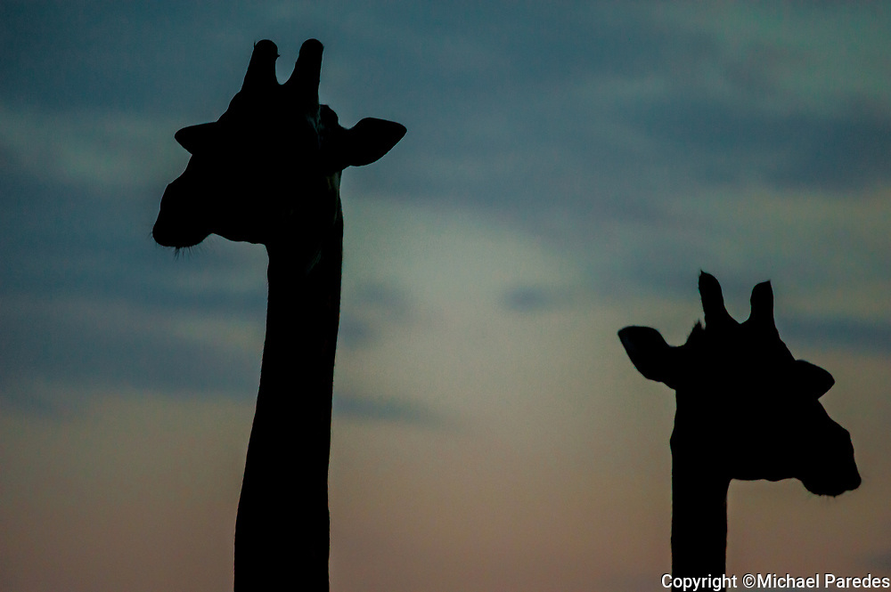 A pair of giraffe at sunset, South Luangwa National Park, Zambia. *50% of the proceeds from this image will go to Conservation  the South Luangwa , which plays a huge role in the conservation of wildlife and community development in the Luangwa valley. Thanks for your support!