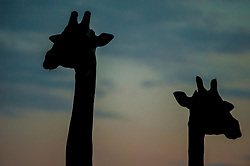 A pair of giraffe at sunset, South Luangwa National Park, Zambia. *100% of the profit from this sale will go to the South Luangwa Conservation Society, which does amazing work where this photo was taken.