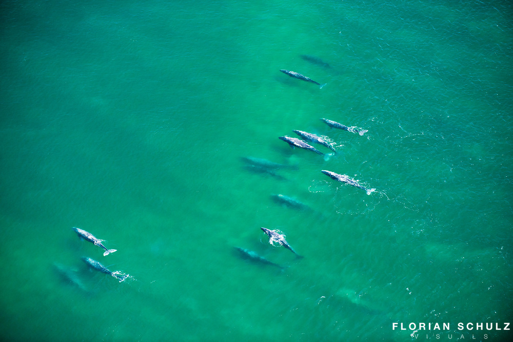 Large group of grey whales entering the birthing lagoons after their long journey along the northern Pacific coast.  Baja California Sur, Mexico