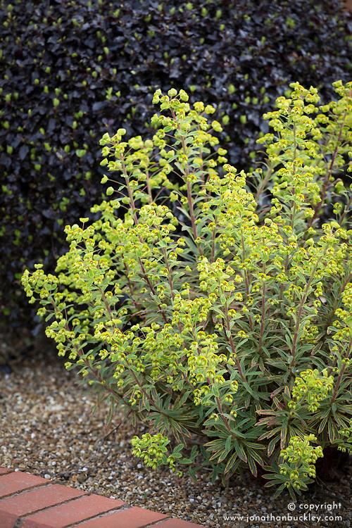 Euphorbia × martini 'Ascot Rainbow' AGM. (Martin's spurge) in front of Pittosporum tenuifolium 'Tom Thumb'