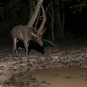The sambar is a large deer native to the Indian subcontinent, southern China, and Southeast Asia that is listed as Vulnerable on the IUCN Red List since 2008. They are a major source of tiger prey in Thailand. Seen here in Kaeng Krachan National Park.