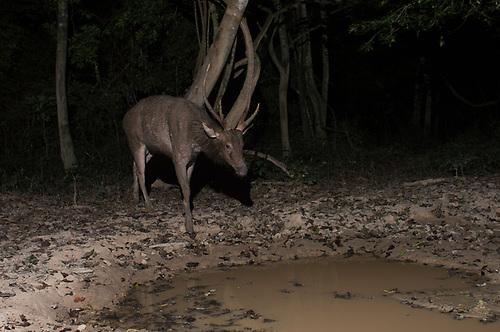 Will southeast asian deer ungulate