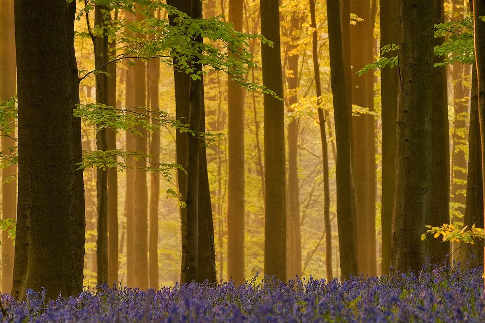 Misty Hallerbos forest at dawn, bluebellls Hyacinthoides non-scripta on foreground, Belgium