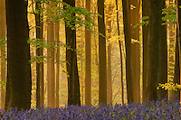 Misty Hallerbos forest at dawn, bluebellls Hyacinthoides non-scripta on foreground, Belgium