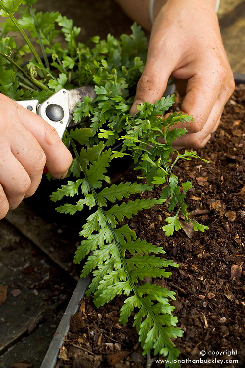Propagating ferns by bulbils<br /> Removing leaf with bulbils from Asplenium lamprophyllum x A. bulbiferum