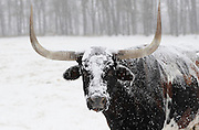 Longhorn steer and snow storm, Baxter County, Arkansas.