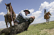 Cowboys working and looking for sick yearlings (cattle) at the Overland Trail Cattle Company, Saratoga, Wyoming. Photography created for America 24-7 Photography, May 12 - 18, 2003.