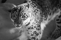 A snow leopard stares intently as it paces at the Calgary Zoo...©2009, Sean Phillips.http://www.Sean-Phillips.com