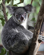 A Koala photographed near Cairns, Australia, Photograph by Dennis Brack