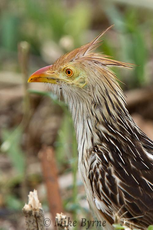 Guira Cuckoo (Guira guira) hunting in a Pantanal field near Araras Eco Lodge (Pantanal, Mato Grosso, Brazil)