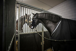 Painted Black and Valegro getting to know each other in the stables of the Schiphol Animal Center<br /> Departure of the horses to the World Cup Finals in Las Vegas from Schiphol - Amsterdam 2015.<br />  © Hippo Foto - Dirk Caremans
