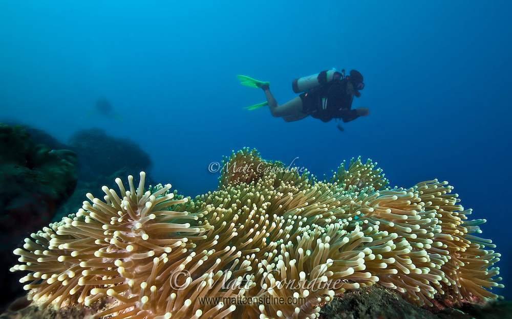Diver above large anemone, Yap Micronesia (Photo by Matt Considine - Images of Asia Collection)