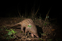 The Sunda pangolin (Manis javanica), also known as the Malayan or Javan pangolin, is a species of pangolin. The skin of the Sunda pangolin's feet is granular, although pads are found on its front feet. It has thick and powerful claws to dig into the soils in search of ant nests or to tear into termite mounds. The Sunda pangolin has poor eyesight, but a highly developed sense of smell. Lacking teeth, its long, sticky tongue serves to collect ants and termites. Its body is covered by rows of scales and fibrous hair.