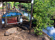 Pigs and horse cart in Santa Lucia, Pinar del Rio, Cuba.