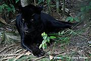 black jaguar, Panthera onca (captive), resting, Belize Zoo<br /> Belize, Central America