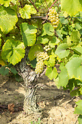 Bunches of ripe Muscadet grapes on ancient vine at vineyard Route Touristique du Vignobles Nantais, Loire Valley, France