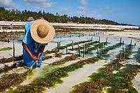 Tanzanie, archipel de Zanzibar, île de Unguja (Zanzibar), plage de Jambiani, culture des algues  // Tanzania, Zanzibar island, Unguja, Jambiani beach, seaweed harvesting at one of the underwater farms, Jambiani
