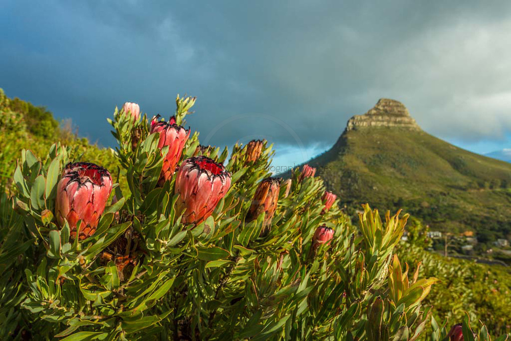 The Bearded Sugarbush, Protea neriifolia, flowering on lower slopes of Table Mountain above Cape Town CBD.