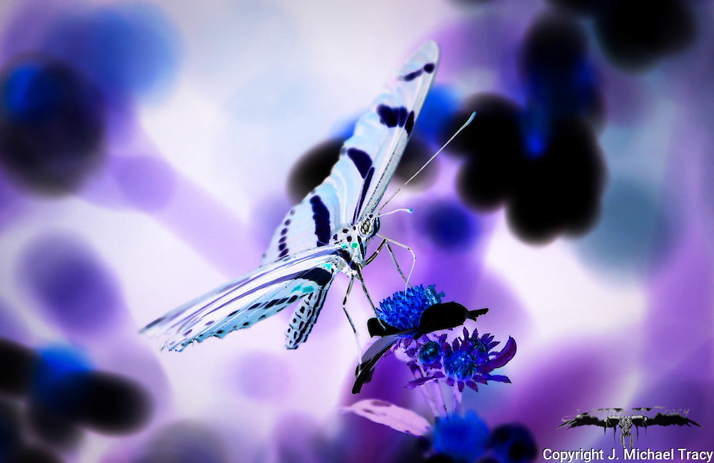 A Zebra butterfly on a wildflower. Inverted and color manipulated.