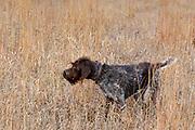 Rachel and Matt Hoveland pheasant hunting with their Deutsch Drahthaar, Luke, in southern Minnesota