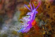 Pink flabellina-Flabelline mauve (Flabellina affinis) of Mediterranean sea.