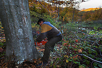 Forest worker with chainsaw cutting large Common beech (Fagus sylvatica) tree at 1.100 m elevation in the Southern Carpathians, Mehadia, Caras Severin, Romania.