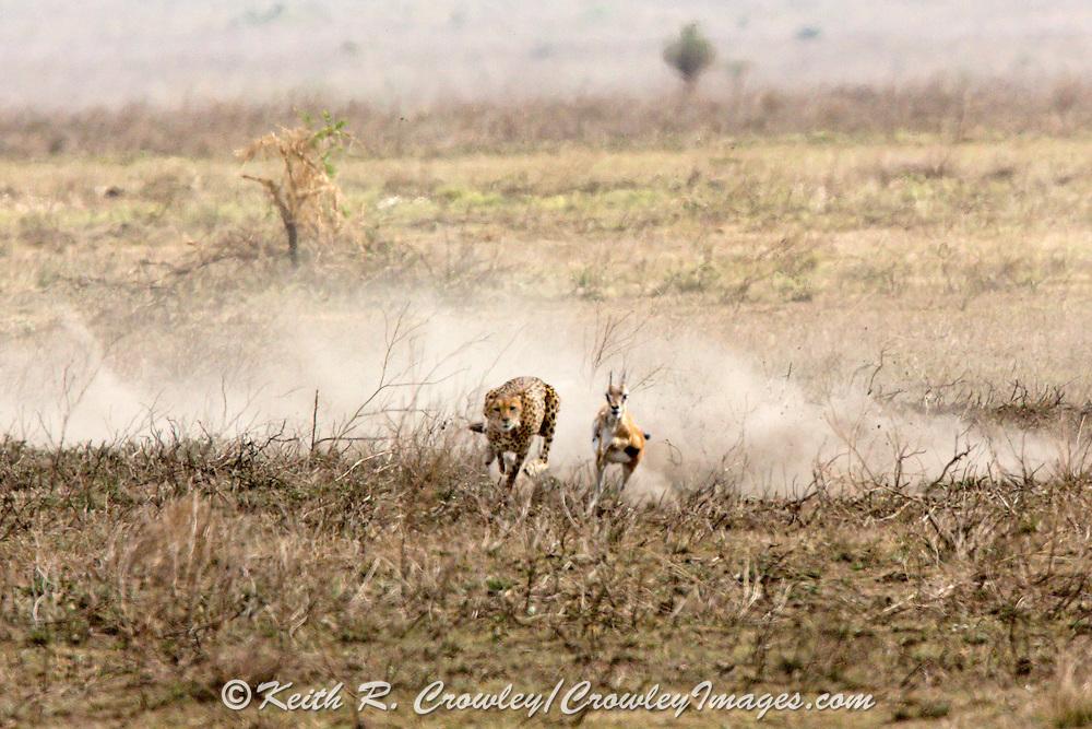 Cheetah hunting gazelle in East African habitat