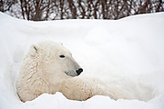 Polar bear  (Ursus maritimus) on frozen tundra along the Hudson Bay Coast<br /> Churchill<br />