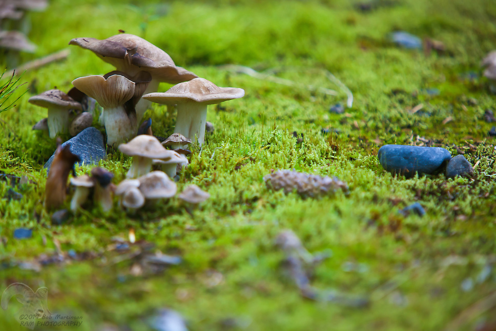 A group of mushrooms jut from the moss-covered forest floor on the Copper River Delta. The area is within the Chugach National Forest, the northern-most rainforest on the Pacific Ocean.