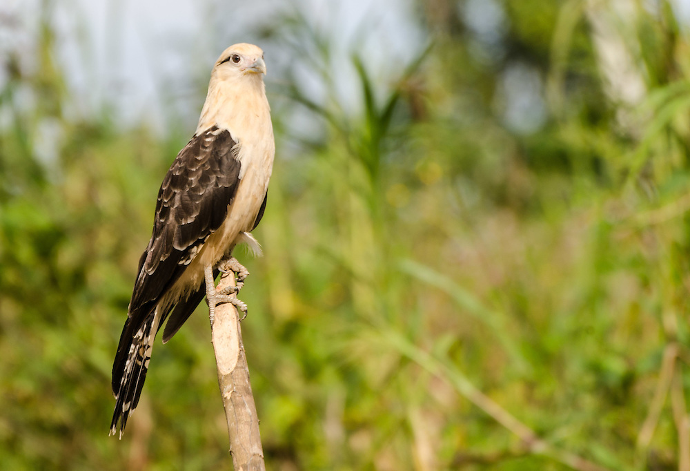 Yellow-headed caracara (Milvago chimachima), known in the region as gavião-carrapateiro.