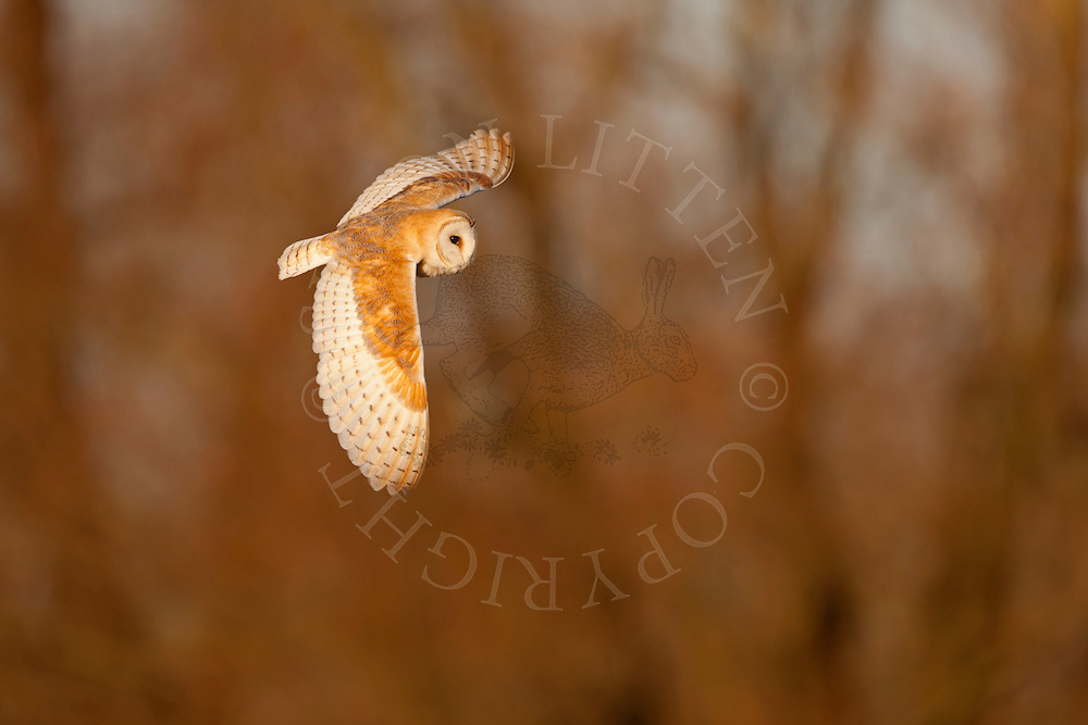Barn Owl (Tyto alba) adult in flight, winter, Norfolk, UK.
