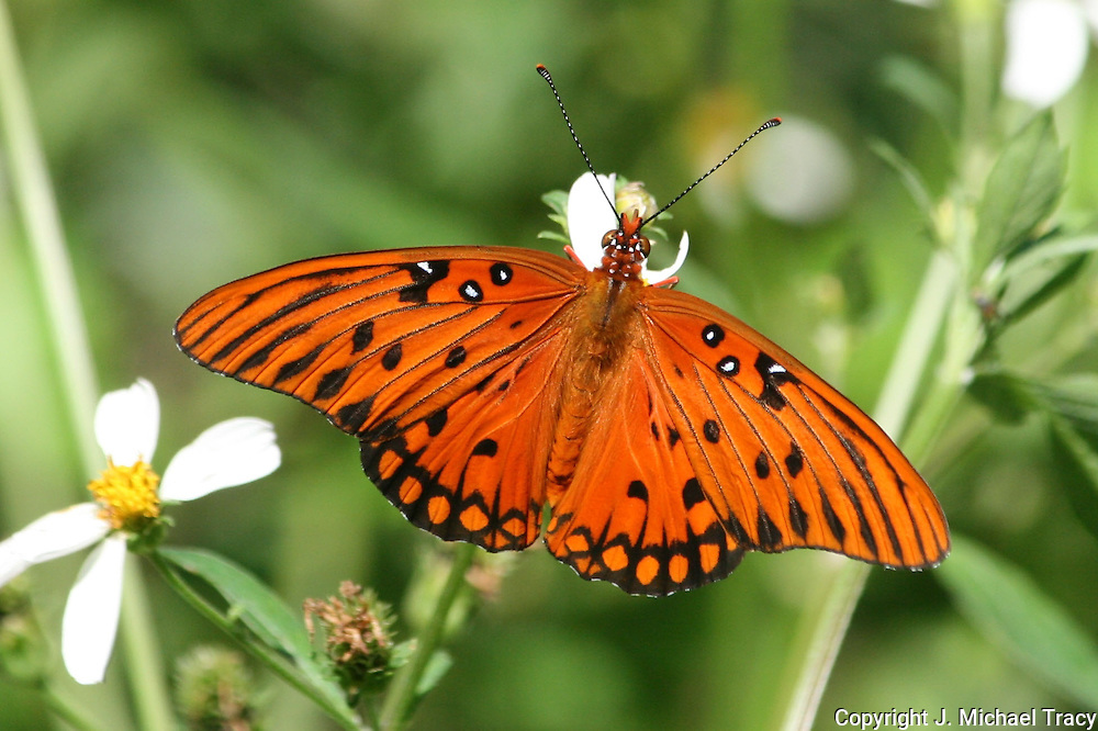 A striking Orange Gulf Fritillary Butterfly on a wild daisy, sipping nectar.