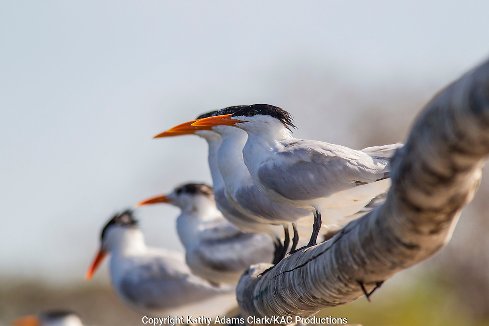 royal tern, Thalasseus maximus, group perched on a dock, Gulf of Nicoya, Guanacaste, Costa Rica.